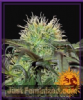 Barneys Farm Bad Azz Kush Female 10 Weed Seeds